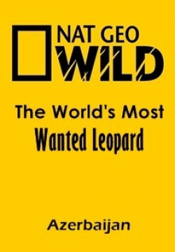 The World's Most Wanted Leopard (Azerbaijan) - wallpapers.