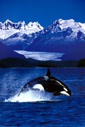 BBC: Wildlife Special - Killer Whale pictures.